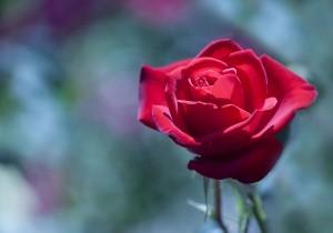 blooming-rose-1446185-m-300x210