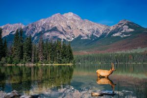 moose-in-Yosemite-300x200